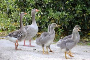 Goose Family-1 by Rea-the-squirrel