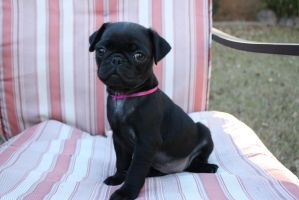 Clover the Pug Puppy 2 by icantthinkofaname-09