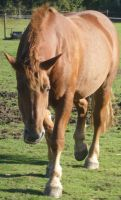 02 Suffolk Punch Walking by chaotezy