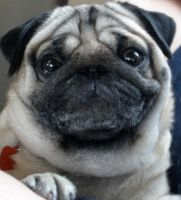 This is what happy looks like by puggers