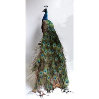 Mounted peacock, opgezette dieren, taxidermy by Museumwinkel