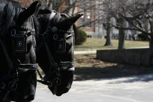 Black Percheron Driving Team Pulling Carriage by HorseStockPhotos