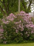 my lilac bush by BlueIvyViolet