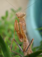 Praying Mantis Stock 10 by sticksnstones89