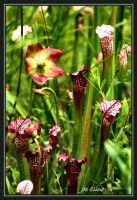 Pitcher plants by eskimoblueboy