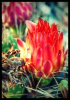 Cactus Flower_01 by fuamnach