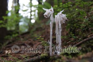 Indian Pipe by 12monthsOFwinter