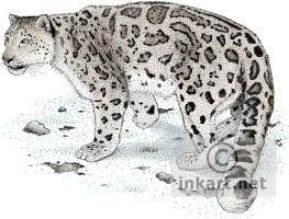 Snow Leopard by rogerdhall