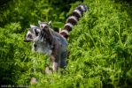 Lemur Catta with Baby by neo1984com