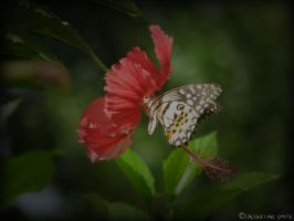 Dominican butterfly by New2photography