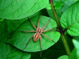 Wolf Spider by Annas-Day-Dreams