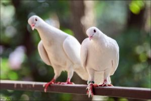 White Doves by DoireannFriz