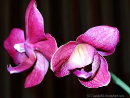 The Birth of an Orchid by weida34