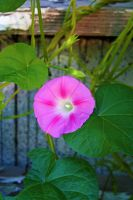 Pink Morning Glory by DonLeo85