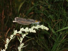 some damselfly (Zygoptera) by DaOldHorse
