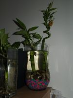 Fancy guppies and live plants by LilWolfStudios