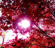 Japanese Maple II by hkitch