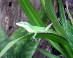 Green Anole by Reptile64