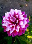 dahlia: magenta rimmed with white by Gildamesh