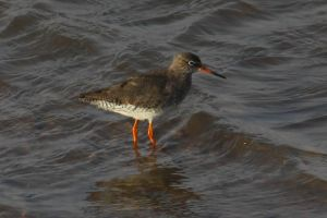 Redshank by Cantabrigian