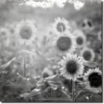 Goodbye sunflowers... by ansdesign