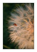 Ladybug Wish by Astraea-photography