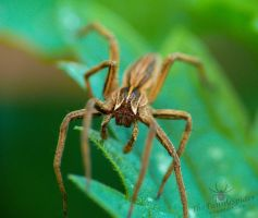 Pisauridae - Look right into the camera :3 by TheFunnySpider