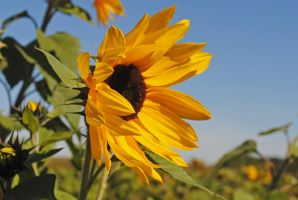 Sunflower 3 by LucieG-Stock