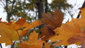 Golden Leaves 2 by DarlingChristie