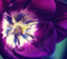 purple tulip by jagerion