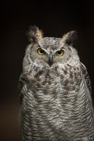 Great Horned Owl / Virginia-Uhu by DaSchu