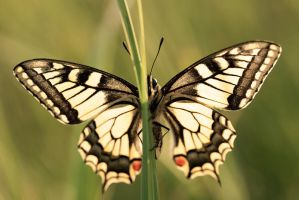 Papilio machaon III by padika11