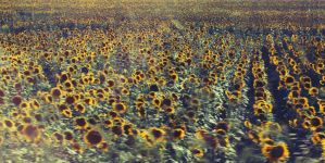 girasoli infiniti by Matylly