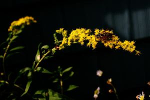 Wasp on Goldenrod by Geak-of-Nature