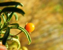 small tomatoes by EduardoDiaz