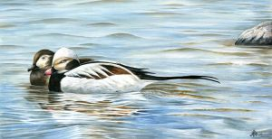 Long-Tailed-Duck by Markelli