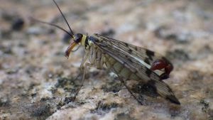 Scorpion fly by Azph
