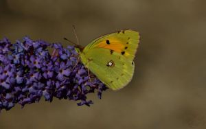 Pale Clouded Yellow by webcruiser