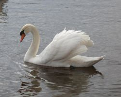 Swan Stock by Avestra-Stock