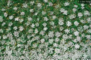 Abstract Compo - White Flowers by BenHeine
