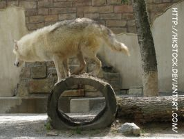 Wolf Leaning on a Log by HKstock