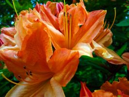 Orange Rhododendron by Fritsa-Wolf