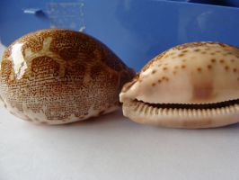 Cypraea Mappa FOR SALE by Lot1rthylacine