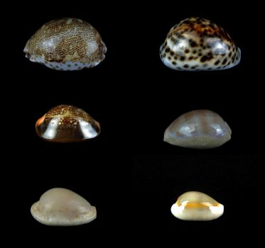 Cowries by CabinetCuriosities