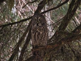 Resident Grey Owl by Glacierman54