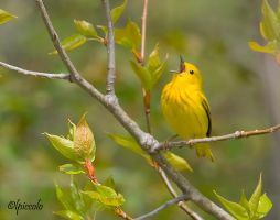 Yellow Warbler by Les-Piccolo