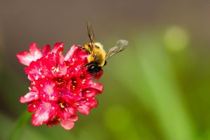 :: Honeybee :: by AmyranthPhotography