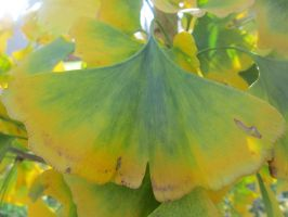 Ginkgo Gradient by Autumn-and-Spring