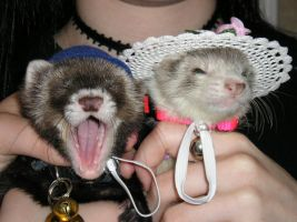 Ferrets With Hats? by StarLuna555