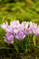 Crocuses II by Lain-AwakeAtNight